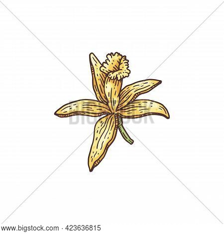 Vanilla Orchid Flower Hand Drawn Engraving Vector Illustration Isolated.