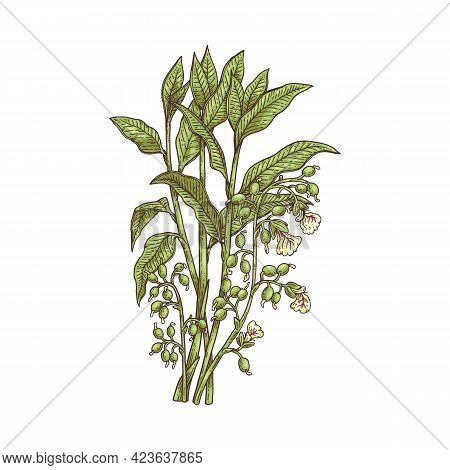 Blooming Cardamom Plant With Flowers Engraving Vector Illustration Isolated.