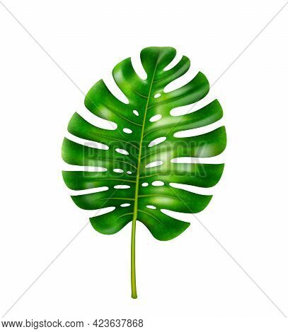 Wide Leafage Of Monstera Flower, Tropical Vegetation, Rainforests Or Jungles With Humid Climate Vege