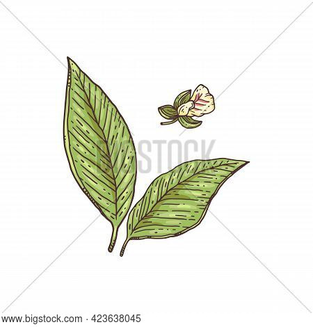 Fresh Leaves And Flower Of Cardamom Engraving Vector Illustration Isolated.