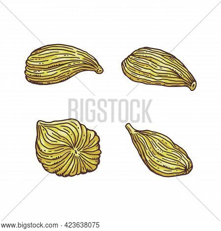 Set Of Cardamom Plant Seeds Engraving Colored Vector Illustration Isolated.
