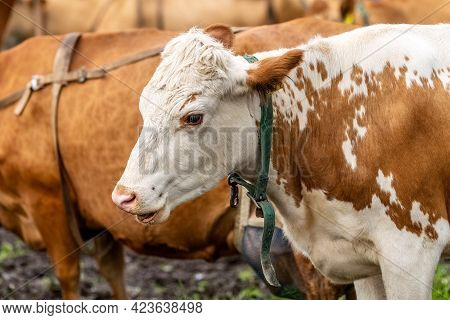 Cow Head. Drooling From The Mouth Of A Cow. The Cow Hums. High Quality Photo