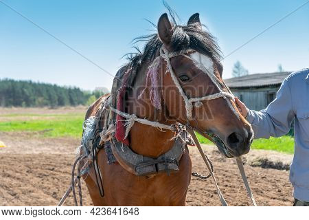 Farmer's Man's Hand Holds A Harnessed Horse For Work By The Bridle On A Sunny Day Close-up