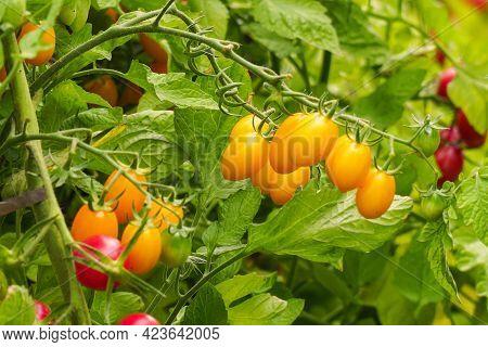 Beautiful Ripe Yellow Tomatoes On A Bush In The Garden