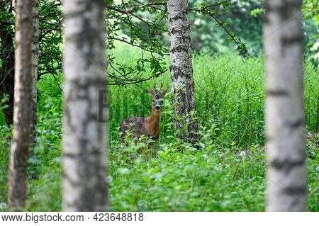 Roe Deer Looking Out From Behind Birch Trees