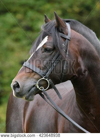 A Head Shot Of A Bay Welsh Section D Stallion In A Bridle.
