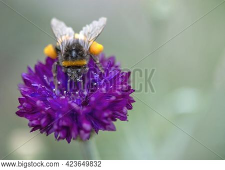 Macro Image Of A Bumblebee Collecting Pollen To Support The Bumblebee Environmental Campaigns To Bri