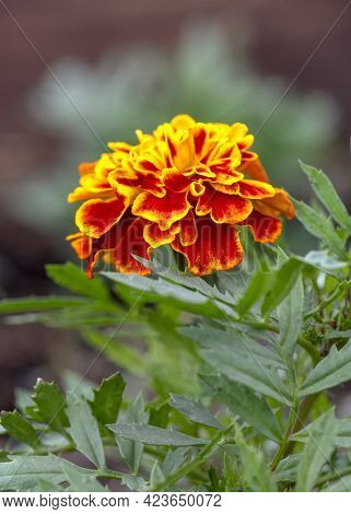 African Herbaceous Marigold Flower, Tagetes From The Daisy Family. Vertical Image With Selective Foc