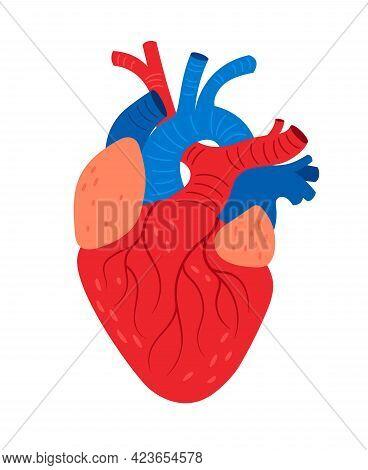 Anatomical Heart. Cartoon Human Biological Cardiovascular Organ, Vector Illustration Of Pump For Blo