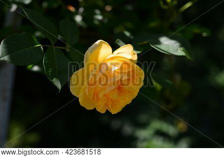Open, Incredibly Beautiful Yellow Rose In The Garden