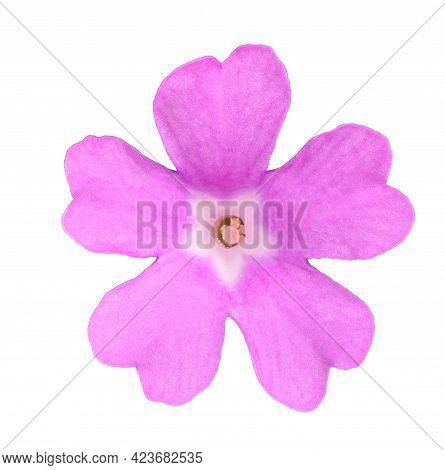 Pink Stinking Primrose Flower  Isolated On White Background
