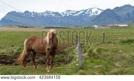 Icelandic Horse With Long Hair. Icelandic Horse Is A Breed Of Horse Developed In Iceland Only.