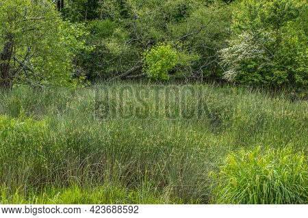 Lush Tall Grasses Bushes And Sedges Growing In Muddy Shallow Water At The Wetlands With A Flowering