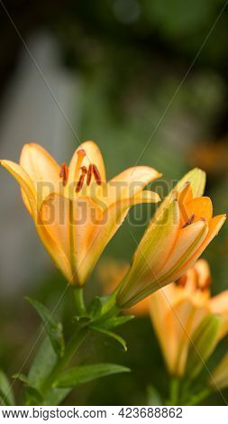 Spring Flowers Early In The Morning Under The Gentle Rays Of The Rising Sun, Dew And Freshness Of A