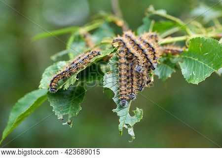 Pest Infestation By Caterpillars Of The Large Tortoiseshell (nymphalis Polychloros) On The Leaves Of