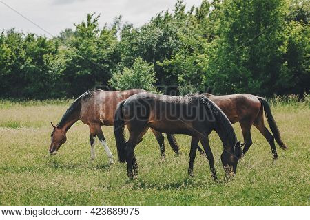 Beautiful Horses Grazing In The Meadow. Summer Meadow.