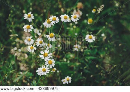 Beautiful Daisy Flowers In The Summer Meadow. Dark Green Background. Selective Focus.