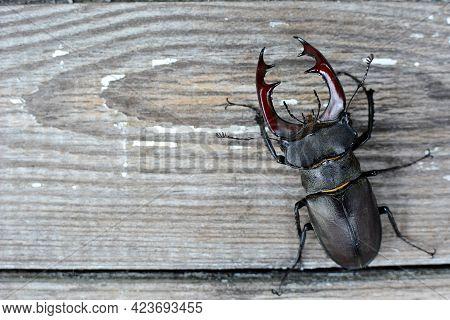 Stag Beetle, Lucanus Cervus, On A Wooden Background. Copy Space.