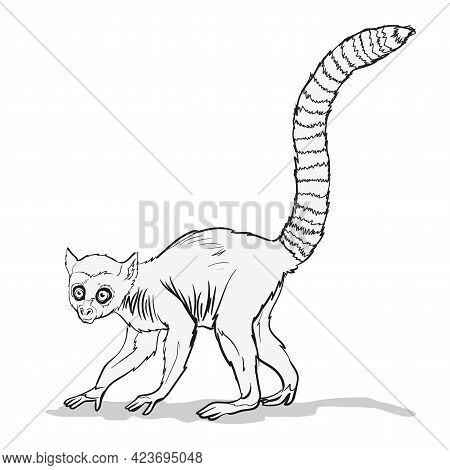 Striped-tailed Macaque Or Lemur With . A Monkey Animal With A Very Long Tail On Branch.coloring Page