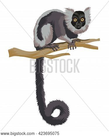 Long Tiled Black And White Lemur. A Monkey Primacy Animal With A Very Long Tail On Branch.isolated I