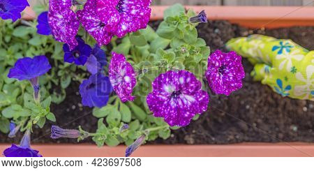 Close-up Of Female Hands Planting A Purple Flower In A Flowerpot. The Gardener Transplants The Plant