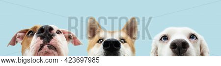 Banner Close-up Three Hide Dogs Head. Isolated On Blue Background.