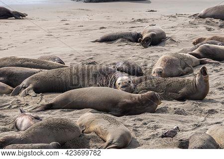 San Simeon, Ca, Usa - February 12, 2014: Elephant Seal Vista Point. Several, Small And Large, Togeth
