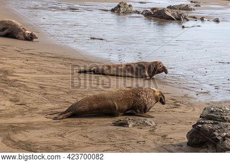 San Simeon, Ca, Usa - February 12, 2014: Elephant Seal Vista Point. 3 Males Race Over Sand Into Ocea
