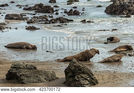 San Simeon, Ca, Usa - February 12, 2014: Elephant Seal Vista Point. 4 Males And 1 Of Them Chasing A