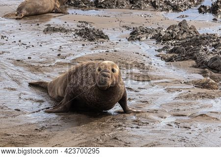 San Simeon, Ca, Usa - February 12, 2014: Elephant Seal Vista Point. Facial Closeup Of Big Brown Male
