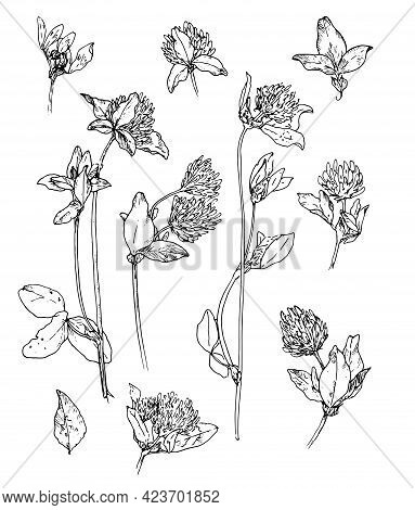 Vector Set Of Meadow Clover. Set Of Isolated Elements Of Flowers And Leaves Of The Clover Plant Hand