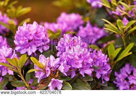 Rhododendron Blooming Flowers In Spring Botanical Garden.