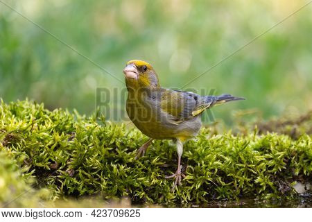 European Greenfinch Chloris Chloride Or Common Greenfinch Is A Small Songbird.