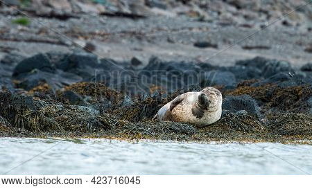 Harbor Seal Lying On Rock Shore In Iceland Wilderness