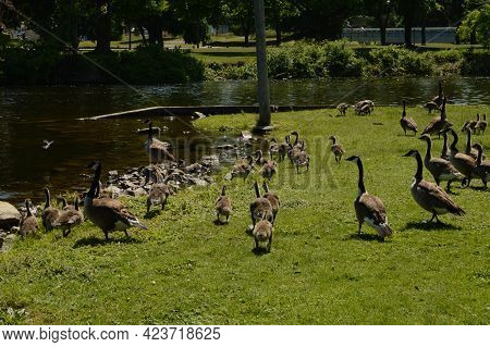 Several Canadian Geese Families Heading Towards The River To Avoid The Camera.