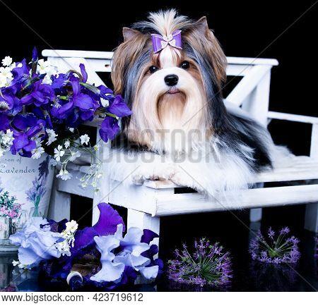 dog Biewer Yorkshire Terrier on black background