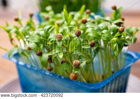 Young Sprouts Plants Of Green Coriander Aromatic Herb Ready For Consumption