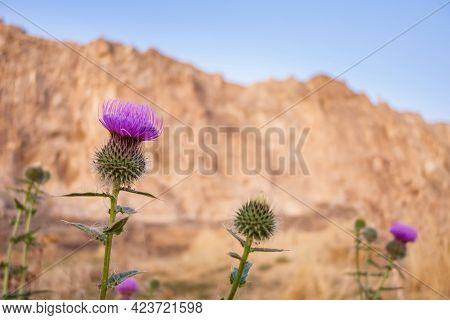 Close Up View Onto Violet Flowers Of Cirsium. Blurred Van Rock On Background. Picture Taken In Old C
