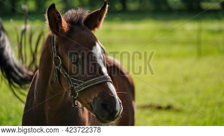 Cute Little Brown Thoroughbred Foal In A Bridle In The Rays Of The Evening Summer Sun On A Green Mea