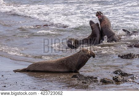 San Simeon, Ca, Usa - February 12, 2014: Elephant Seal Vista Point. Sparring. Males In Ocean Surf Wi