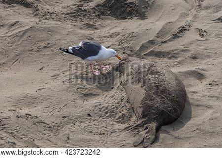 San Simeon, Ca, Usa - February 12, 2014: Elephant Seal Vista Point. Closeup Of Black-white Seagull C