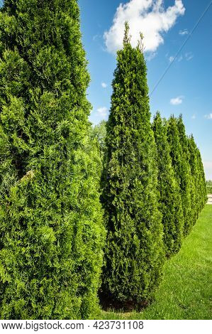 Landscaping Of A Backyard Garden With Evergreen Conifers. Thuja In A Summer Greenery Park With Decor