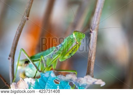 Praying Mantis Close-up Macro Sitting On A Leaf Looking At The Camera, Showing Spiked Arms, Eyes And