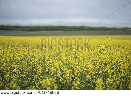 Yellow Rapeseed Flowers On Field