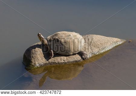 Serrated Hinged Terrapin (pelusios Sinuatus) Sitting Alone On A Rock In A River In Kruger National P