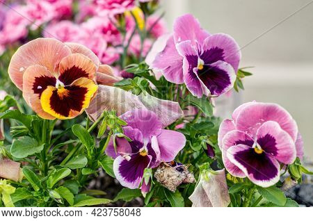 Colorful Pansies,viola Wittrockiana Gams