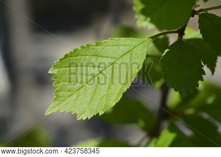 Rose Of China Leaves - Latin Name - Prunus Triloba
