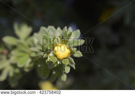 Shrubby Cinquefoil Goldteppich Yellow Flower Bud - Latin Name - Potentilla Fruticosa Goldteppich