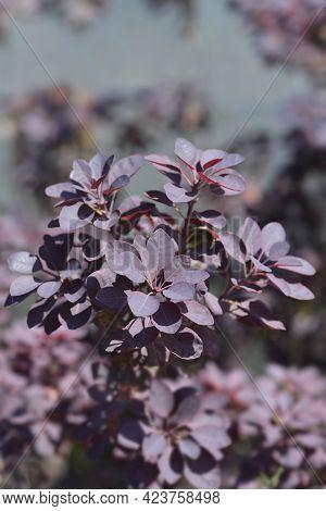 Smoke Tree Royal Purple - Latin Name - Cotinus Coggygria Royal Purple