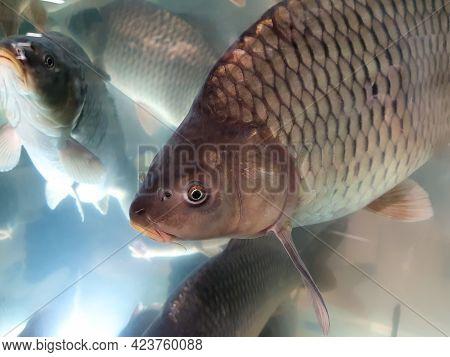 A Lot Of Carps In Supermarket Or Fish Shop Aquarium. One Carp Looks At Us. Closeup.